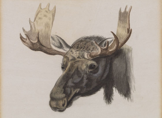 Head of a Moose, from Nature