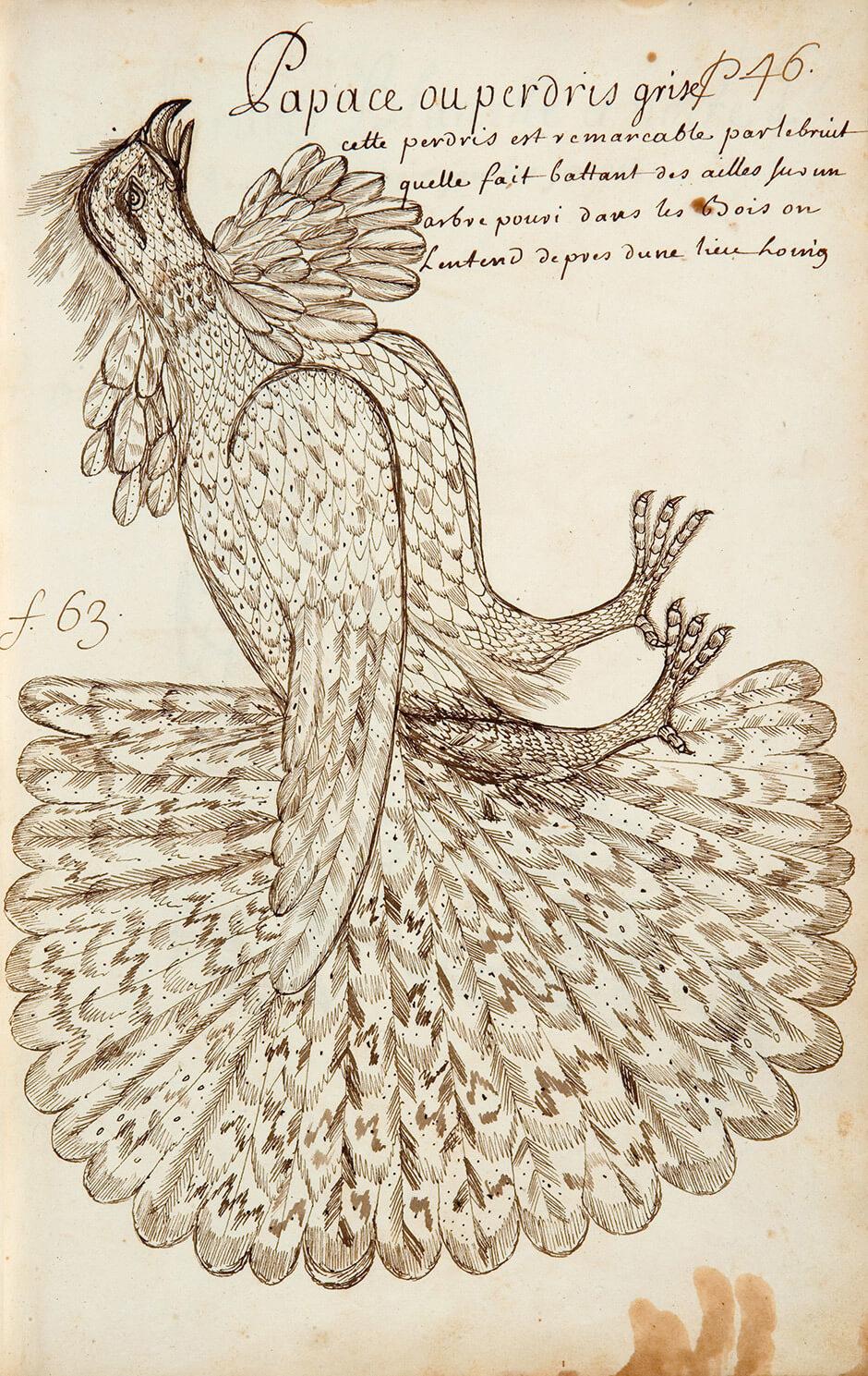 Louis Nicolas,Papace, or Grey Partridge, n.d.