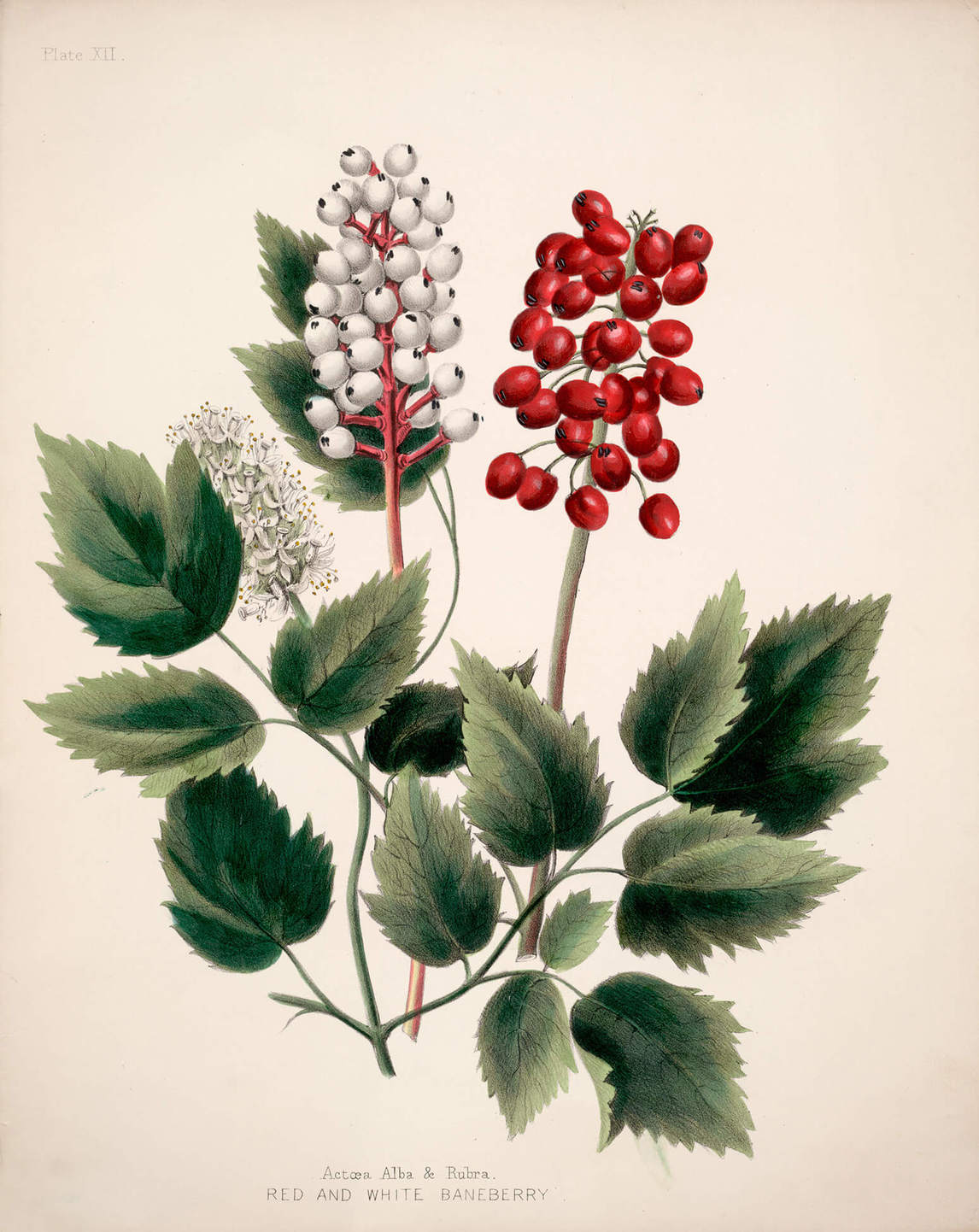 Maria Frances Ann Morris Miller, Actoea Alba and Rubra, Red and White Baneberry, 1853